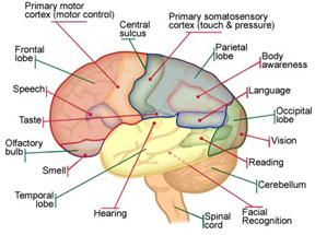 The brain lessons tes teach 3540260411114342eg 3 diagram of the human brain sciox Gallery