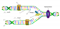 DNA replication matching question