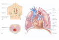 Location of the heart in the mediastinum of the throrax