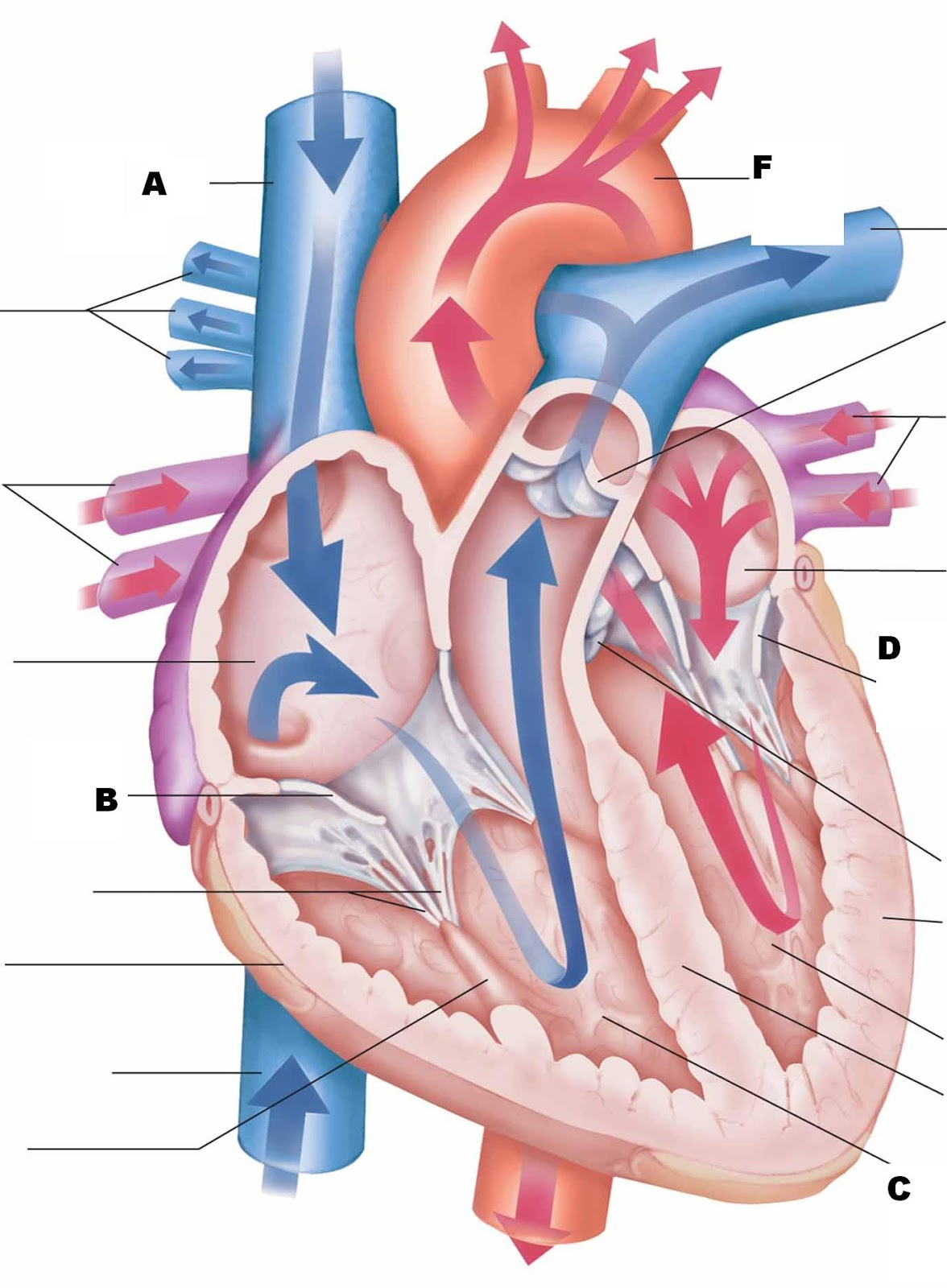 Images of Heart Anatomy And Physiology - #rock-cafe