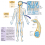 The Central Nervous System Includes the Brain and Spinal Cord