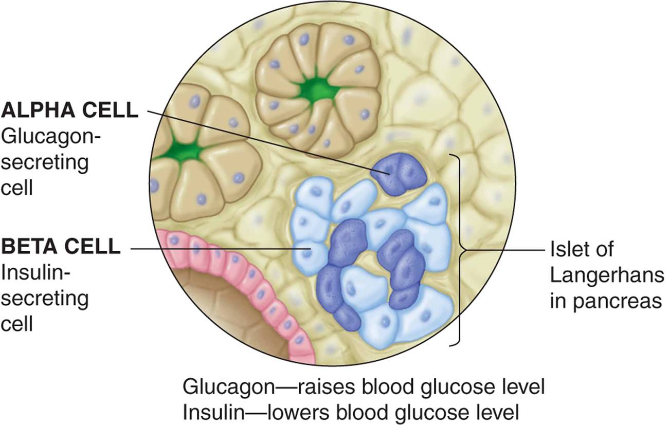 organelles working together to make and secrete insulin
