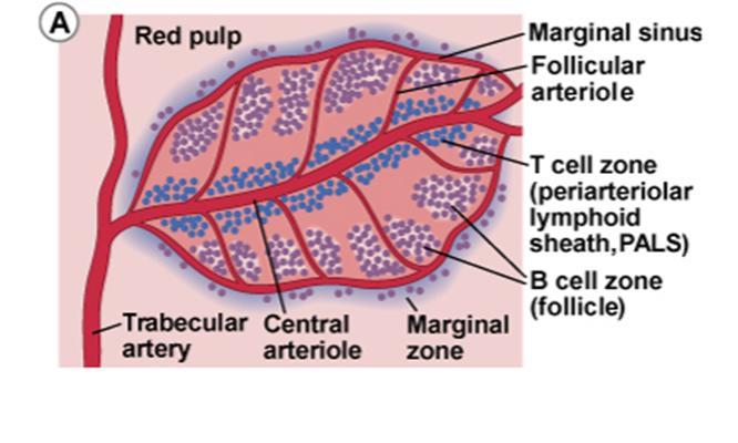 morphology of the spleen biology forums gallery : spleen diagram - findchart.co
