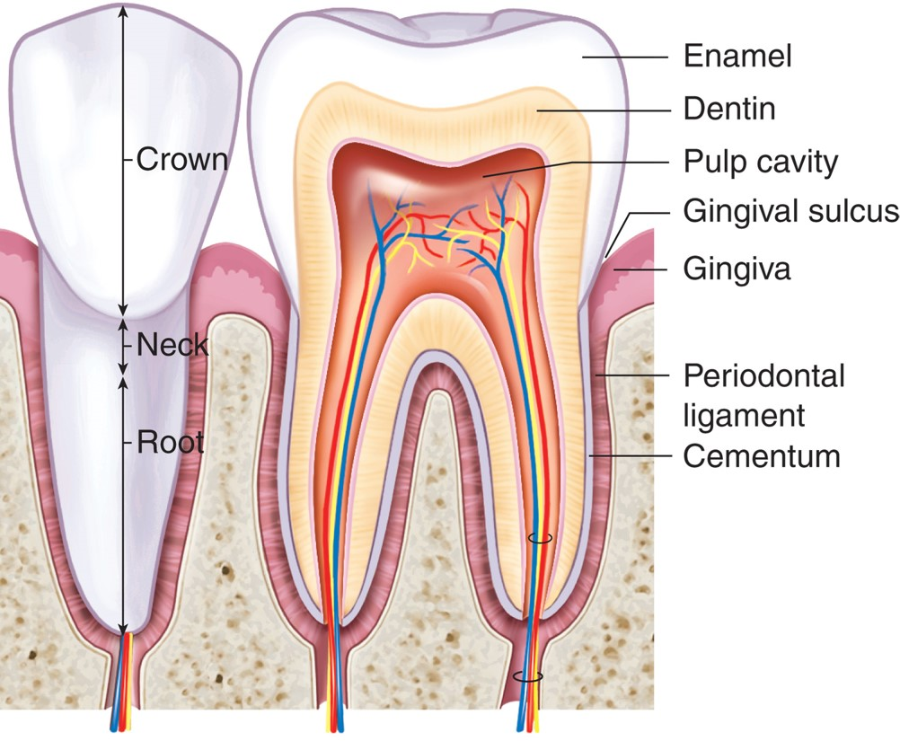A diagrammatic section through a typical adult tooth ...