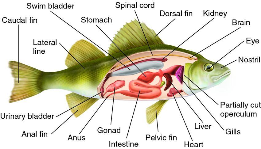Perch Fish Diagram Perch Dissection Diagram Blank Earthworm Diagram