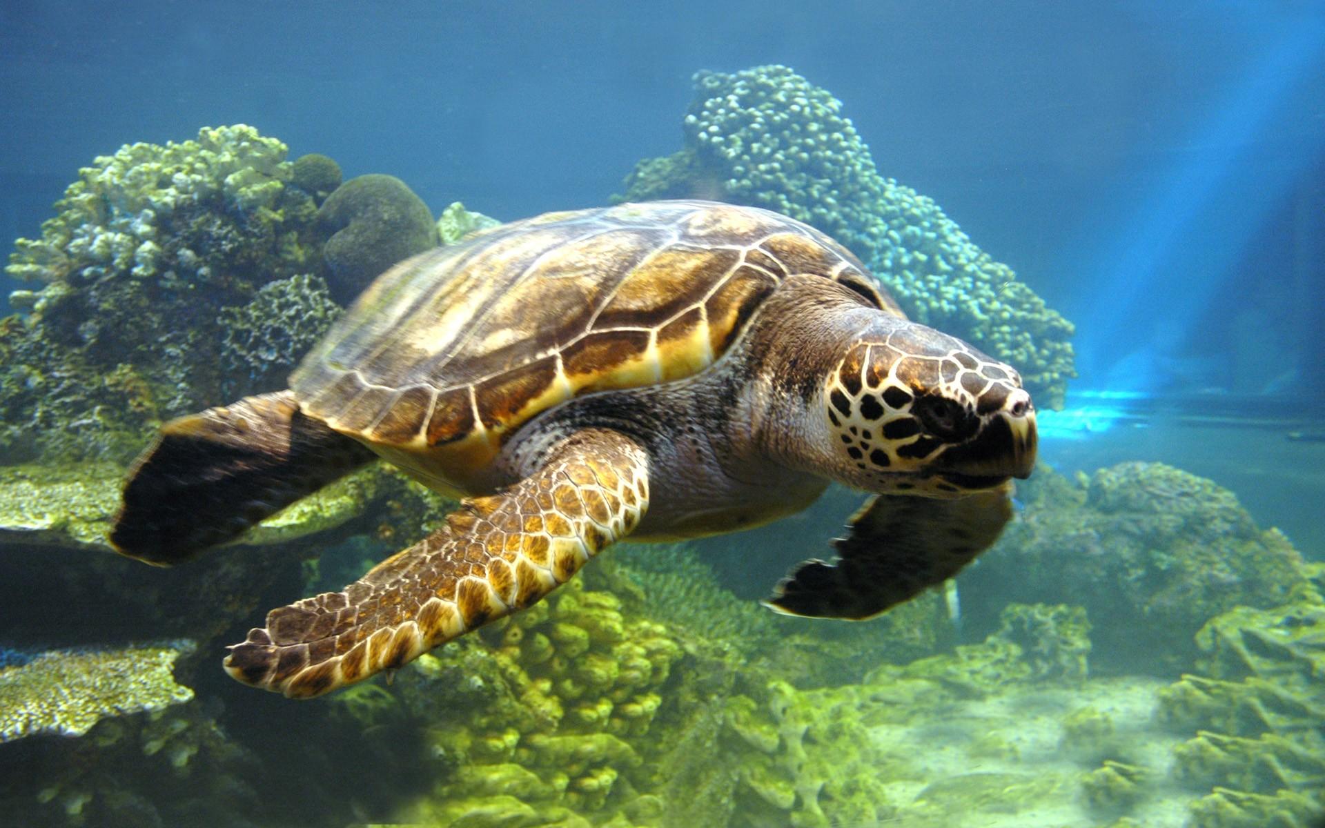 Turtle  Simple English Wikipedia the free encyclopedia