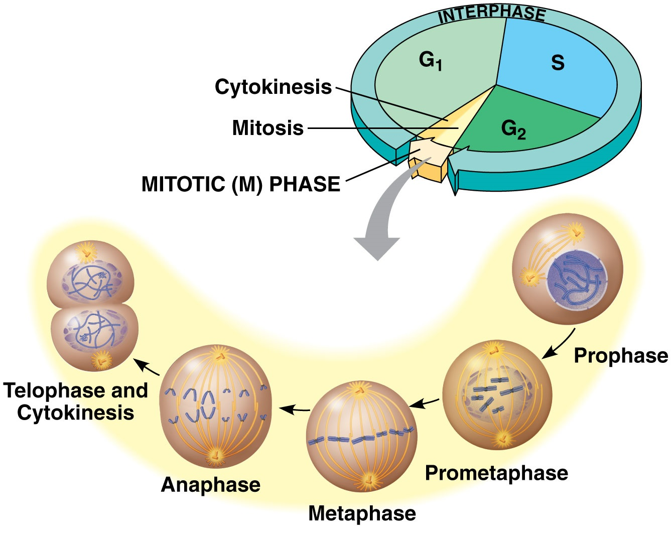 the phases of the cell cycle Interphase (cell does its normal function) mitosis (division of the nucleus) cytokinesis (division of the cytoplasm which results in two cells) the interphase is divided into g1, s, and g2 phase.