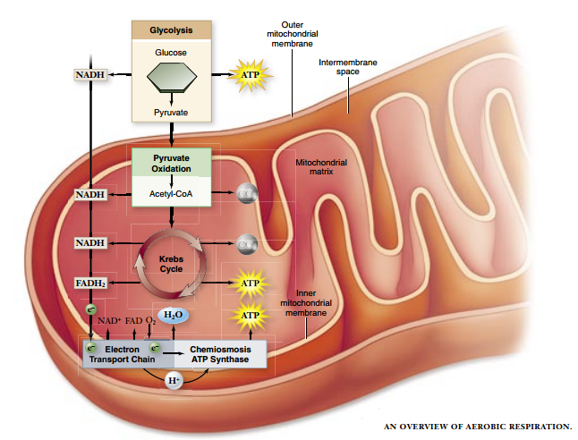 Solved aerobic cellular respiration in a skeletal muscle homework solved aerobic cellular respiration in a skeletal muscle homework help thank you ccuart Image collections