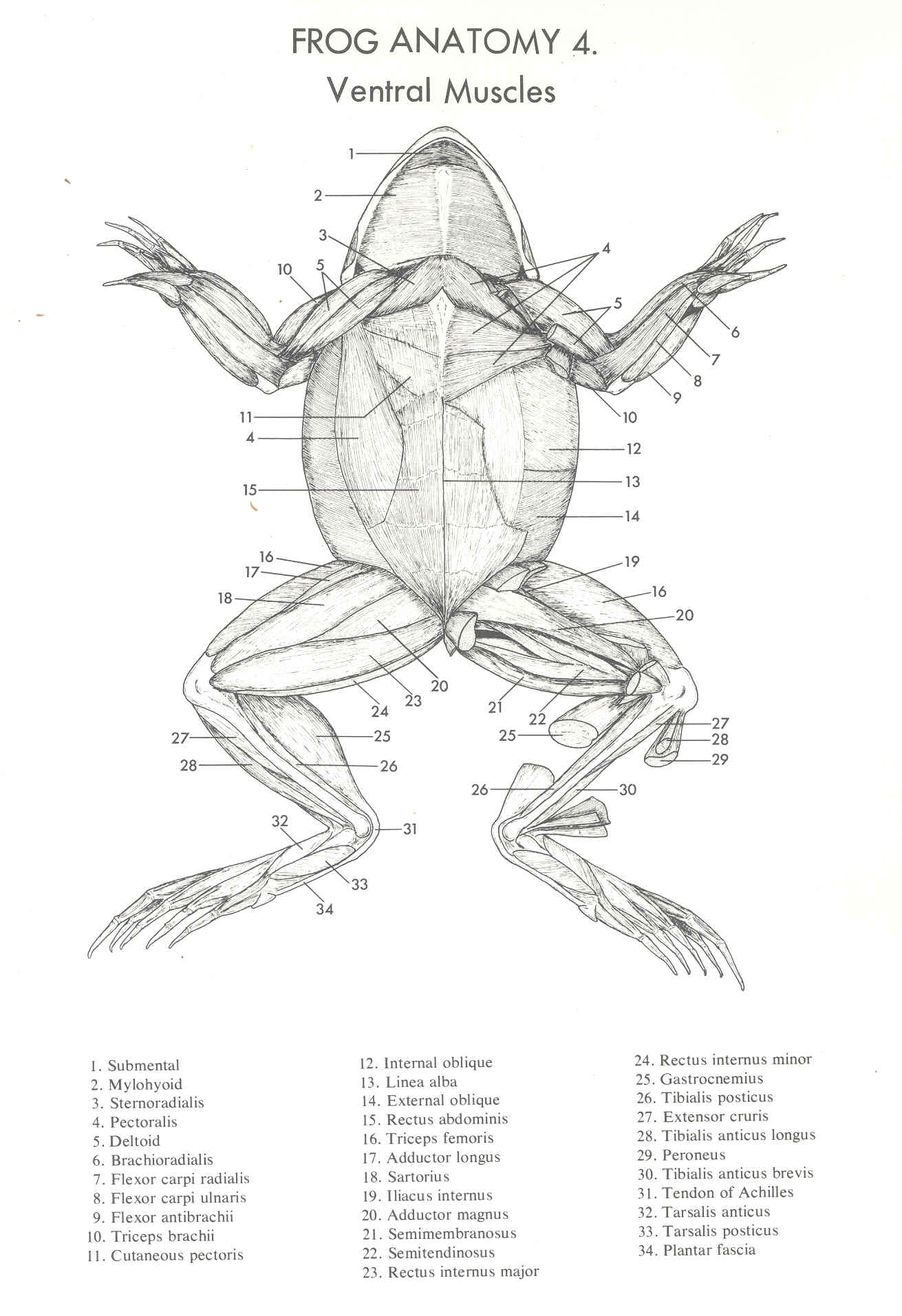 Frog Anatomy Diagram Ventral View - Wiring Library •