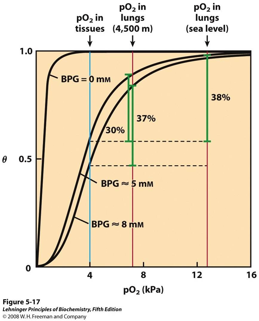 Effect Of BPG On Oxygen Binding To Hemoglobin. The BPG