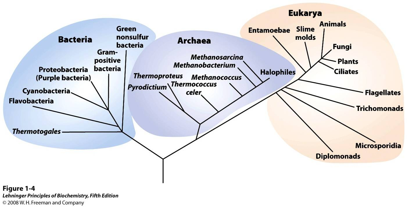 Phylogeny of the three domains of life - Biology Forums Gallery