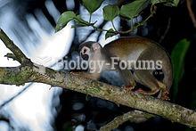The common squirrel monkey (Saimiri sciureus) is a small New World primate from the Cebidae (squirre