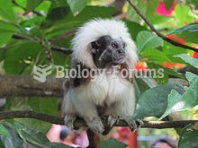 The cotton-top tamarin (Saguinus oedipus), also known as the Pinche tamarin, is a small New W
