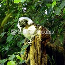 Geoffroy's tamarin has been considered a subspecies of the similar cottontop tamarin, shown abo