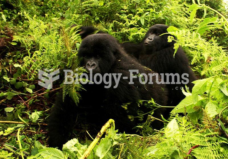 Gorillas moving in habitat