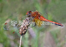 The yellow-winged darter, Sympetrum flaveolum, is a dragonfly found in Europe and mid and Northern C