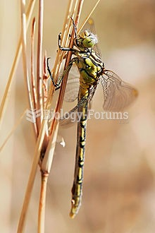 Gomphidae is an Odonata family that contains about 90 genera and 900 species. They are commonly refe