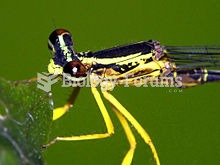 Platycnemididae are a family of damselfly called white-legged damselflies.