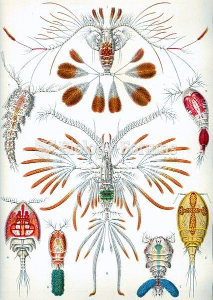 Copepods, from Ernst Haeckel's 1904 work Kunstformen der Natur