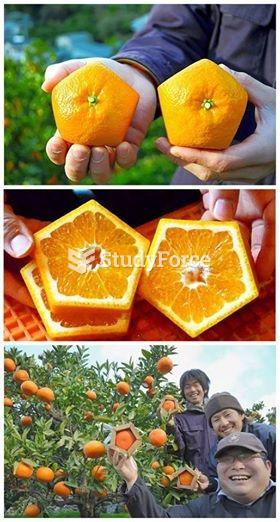 Japanese farmers create pentagon-shaped oranges