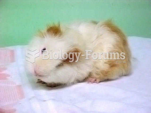 A parti-colored guinea pig suffering from torticollis, or wry neck