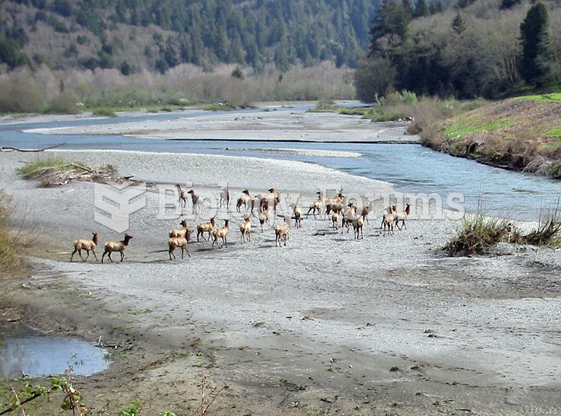 A herd of Roosevelt Elk in Redwood National and State Parks, California