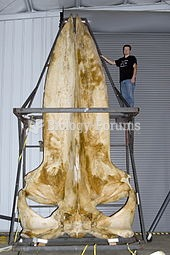 A 19-foot-long blue whale skull in the collections of the Smithsonian Museum of Natural History