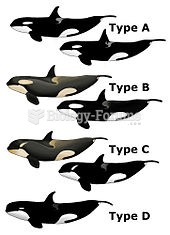 Some examples of variations in killer whales