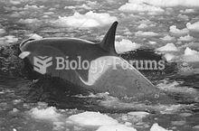 The Type C killer whale