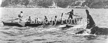 The killer whale named Old Tom swims alongside a whaling boat, flanking a whale calf. The boat is be