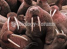 Young male Pacific Walruses on Cape Pierce in Alaska. Note the variation in the curvature and orient