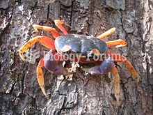Gecarcinus quadratus, a land crab from Central and South America