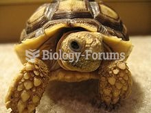 Young African Sulcata tortoise