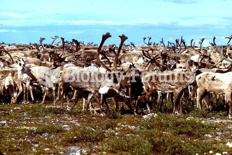 A herd of barren-ground caribou at the Thelon River. This subspecies is a long-distance migrant