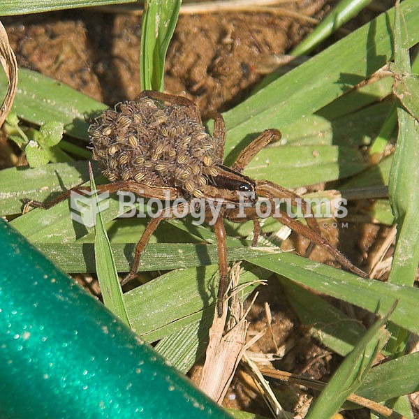 Wolf spider carrying her young.