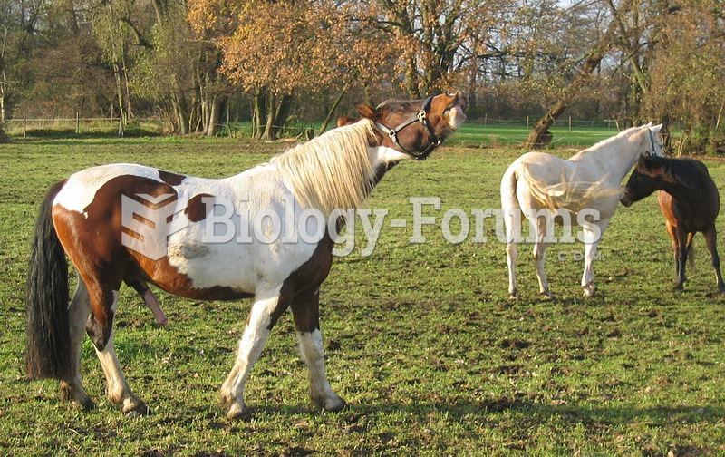 A stallion exhibiting the characteristics of a Flehmen response