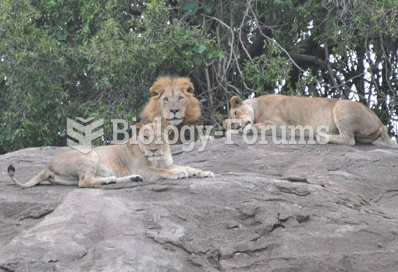 Two lionesses and a mature male of a pride, northern Serengeti