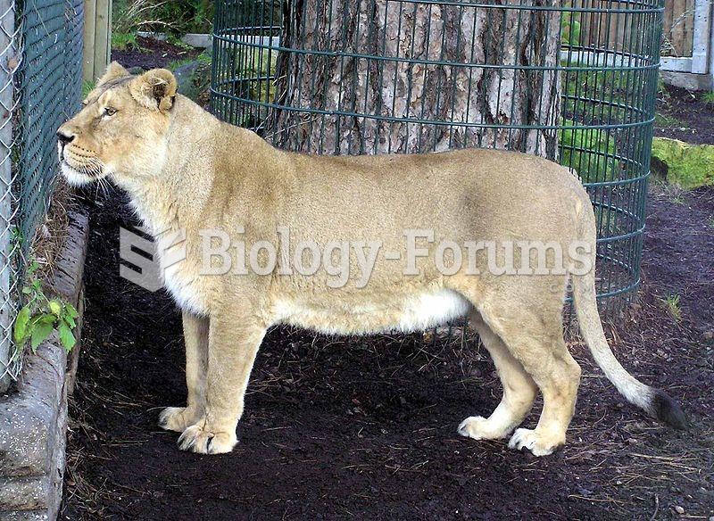 Asiatic Lion Female
