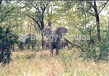 A young elephant in Zimbabwe.