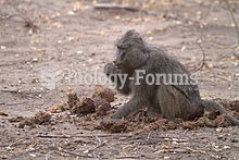 Elephants do not fully digest their food. Other animals, such as this Baboon may pick through elepha