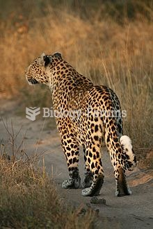 Female leopard in the Sabi Sands area of South Africa. Note the white spot on its tail, used for com