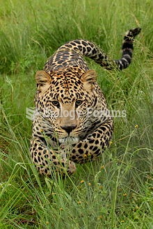 Charging young leopard