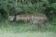 Sri Lankan Leopard in wild