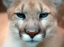 Cougar - Close-up front face