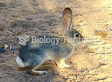 Cottontails' ears have developed to hear even whisper-quiet sounds at incredible distances.