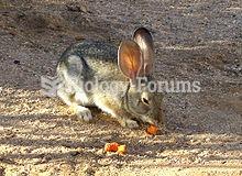 California high desert cottontail eating a carrot