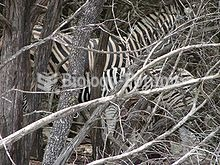 A mother nursing her young blends into a stand of deadwood.