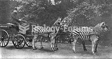 Lord Rothschild with his famed zebra carriage (sp. Equus quagga burchellii), which he frequently dro