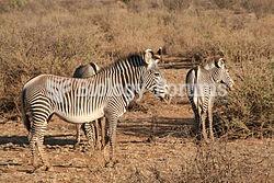 Mother zebra with foals.