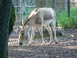 Asinus, commonly known as asses, is a subgenus of Equus that encompasses several species of Equidae